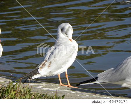赤いくちばしの渡り鳥は白いユリカモメ 46476174
