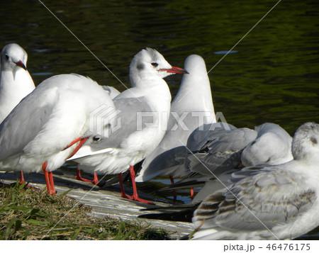 赤いくちばしの渡り鳥は白いユリカモメ 46476175