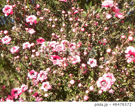 薄桃色の可愛い花はギョリュウバイ 46476372
