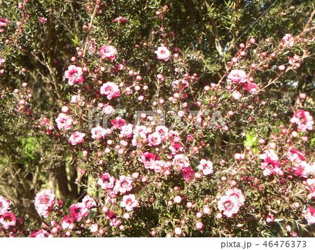 薄桃色の可愛い花はギョリュウバイ 46476373