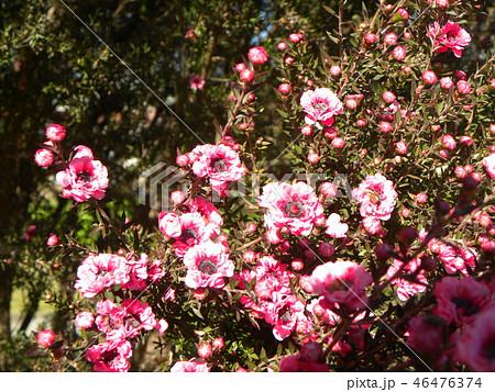 薄桃色の可愛い花はギョリュウバイ 46476374