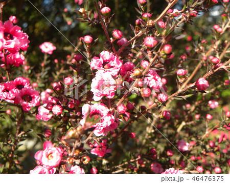 薄桃色の可愛い花はギョリュウバイ 46476375