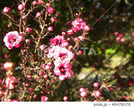 薄桃色の可愛い花はギョリュウバイ 46476376
