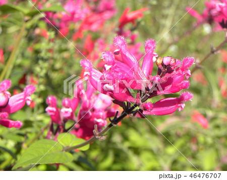 桃色の筒状花パイナップルセージの花 46476707