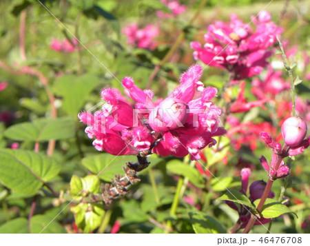 桃色の筒状花パイナップルセージの花 46476708