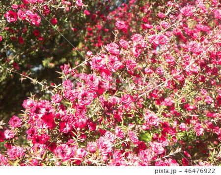 赤色の可愛い花はギョリュウバイ 46476922