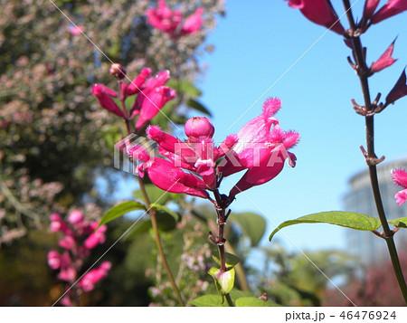 桃色の筒状花パイナップルセージの花 46476924