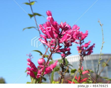 桃色の筒状花パイナップルセージの花 46476925