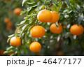 みかん 果物 果実の写真 46477177