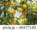 みかん 果物 果実の写真 46477180