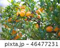 みかん 果物 果実の写真 46477231