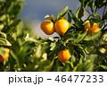 みかん 果物 果実の写真 46477233