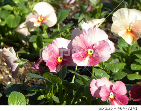 年明けまで咲き続けるビオラの桃色と黄色の花 46477241