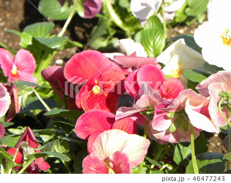 年明けまで咲き続けるビオラの赤色と白色の花 46477243