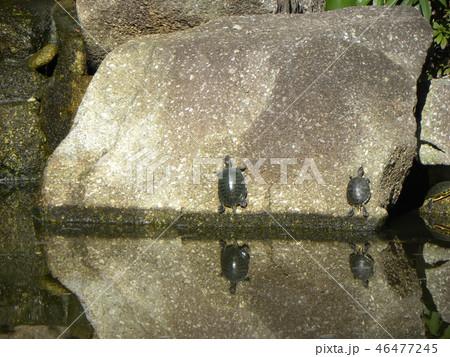 稲毛海浜公園の池に亀さん二匹 46477245