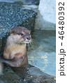 カワウソ コツメカワウソ 動物の写真 46480392