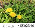ツヅミグサ セイヨウタンポポ 花の写真 46502340