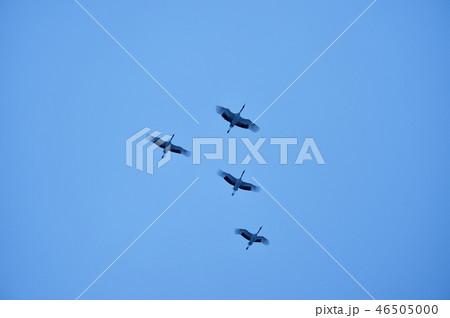 夕暮れの空を飛ぶタンチョウの群れ(北海道・鶴居) 46505000