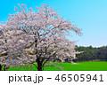 桜 春 染井吉野の写真 46505941