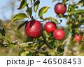 りんご 林檎 リンゴの写真 46508453