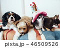 4匹の犬が誕生日のお祝いをしている 46509526
