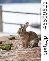大久野島 兎 動物の写真 46509821