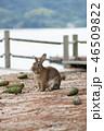 大久野島 兎 動物の写真 46509822