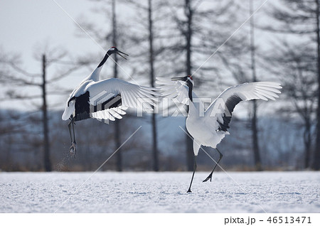 二羽で踊るタンチョウ(北海道・鶴居) 46513471