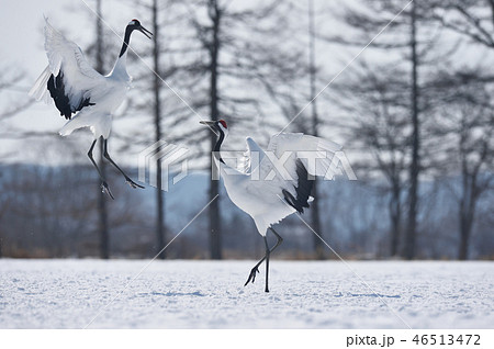 二羽で踊るタンチョウ(北海道・鶴居) 46513472