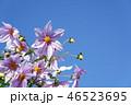 皇帝ダリア ダリア 花の写真 46523695