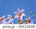 皇帝ダリア ダリア 花の写真 46523696