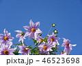 皇帝ダリア ダリア 花の写真 46523698