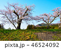 桜 春 染井吉野の写真 46524092