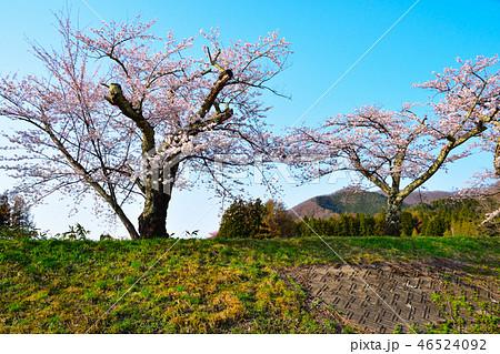 桜景 観音寺川 46524092