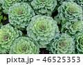 花 キャベツ フラワーの写真 46525353