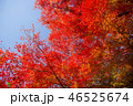 紅葉 秋 モミジの写真 46525674