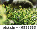 緑 葉っぱ 葉の写真 46536635