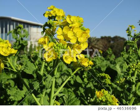 12月に咲き始めた早咲きナバナ 46536696