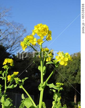 12月に咲き始めた早咲きナバナ 46536698
