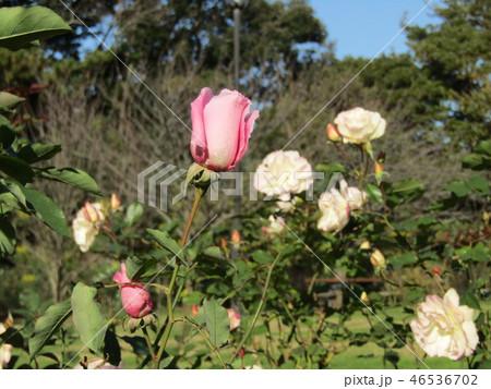 桃色の綺麗な花はバラの花 46536702