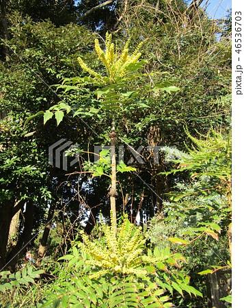 細葉ヒイラギナンテンとも言うマホニアの黄色い花 46536703