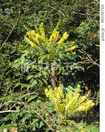 細葉ヒイラギナンテンとも言うマホニアの黄色い花 46536760