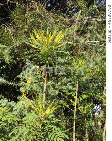 細葉ヒイラギナンテンとも言うマホニアの黄色い花 46536763