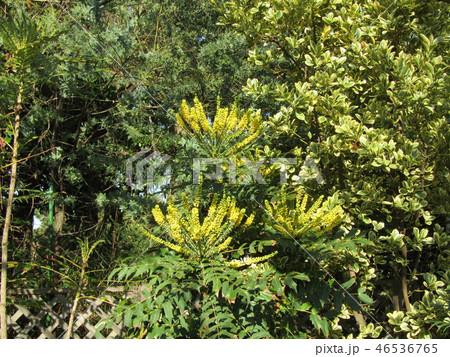細葉ヒイラギナンテンとも言うマホニアの黄色い花 46536765