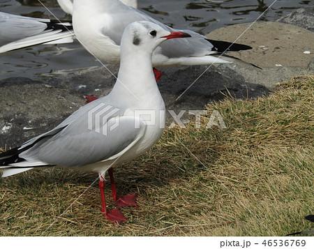 赤いくちばしの渡り鳥は白いユリカモメ 46536769