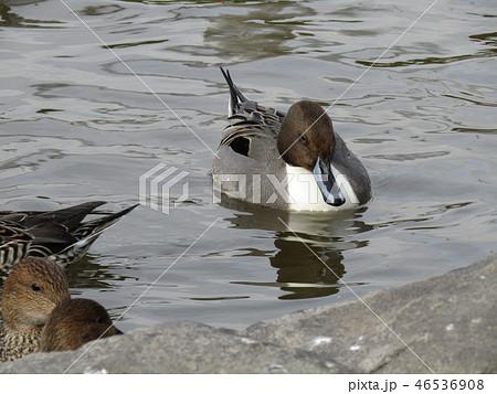 今年も来ました冬の渡り鳥オナガガモ 46536908