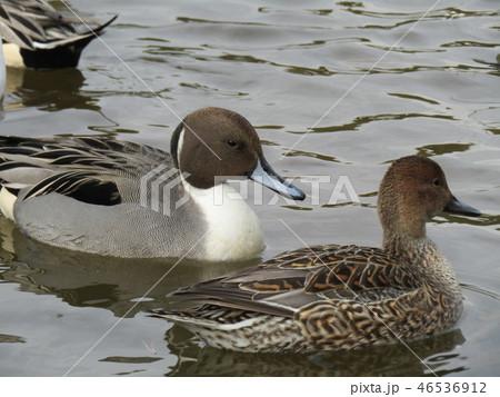 今年も来ました冬の渡り鳥オナガガモ 46536912