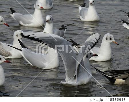 赤いくちばしの渡り鳥は白いユリカモメ 46536913