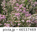 エリカ ジャノメエリカ 花の写真 46537469