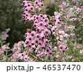 エリカ ジャノメエリカ 花の写真 46537470